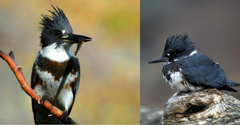San Benito County Birds Belted Kingfisher